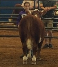 showing hereford