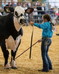 girl showing cow
